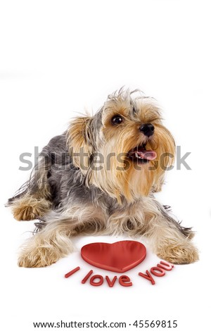 picture of a yorkshire terrier with a 3d heart saying: i love you - stock photo