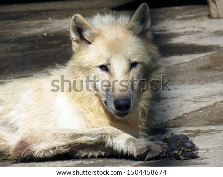 Pictured is a white arctic wolf