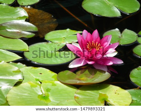 picturesque bright pink water lily on a smooth smooth surface of the water.