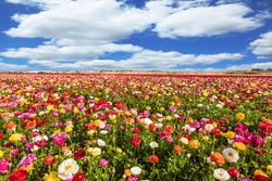 Picturesque fields of buttercups in the Israel. Annual large multi-colored flowers. Wonderful warm spring weather. The concept of botanical, environmental and photo tourism