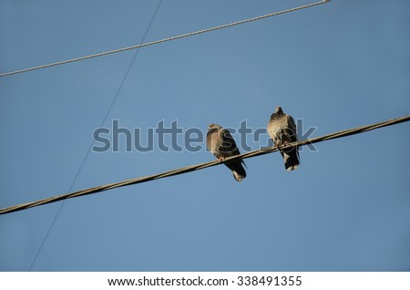 Pigeons, City birds, Pigeons on the wire