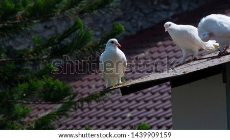 pigeons  dove on the roof #1439909159