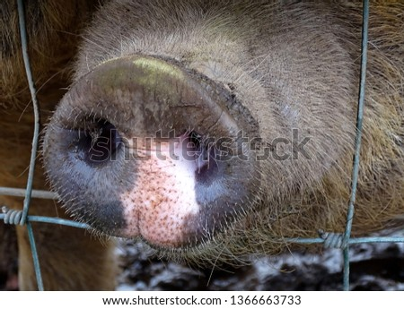 pigs snout and fence
