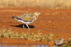 Pin-tailed sandgrouse (Pterocles alchata), female perched on wet ground.