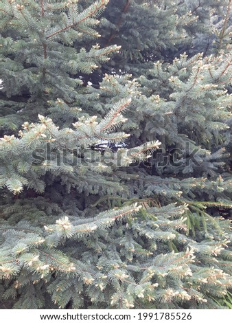 Pine branches, background for your design.  Foto stock ©