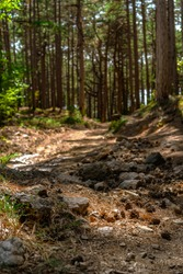 Pine forest with rocks on the ground