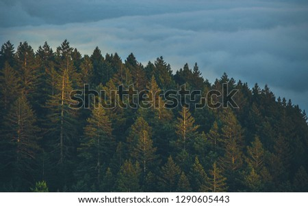 Pine forests in the morning #1290605443