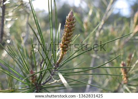 pine needles and pine cones #1362831425