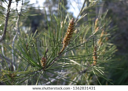 pine needles and pine cones #1362831431