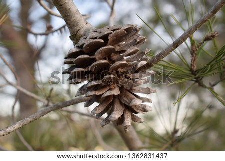pine needles and pine cones #1362831437