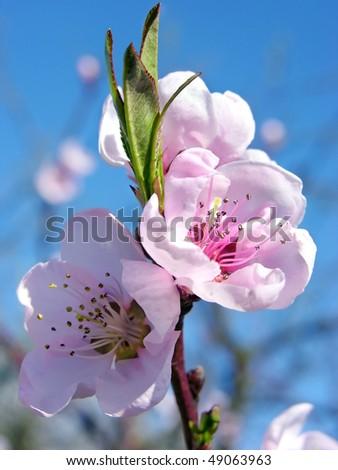 Pink blossom - Prunus persica - stock photo