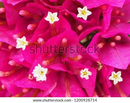 Pink Bougainvillea flowers. Bougainvillea Dwarf Pixie.