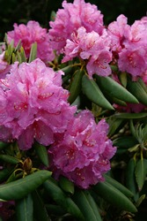 Pink Catawba Rhododendron (Rhododenron catawbinese) Vertical