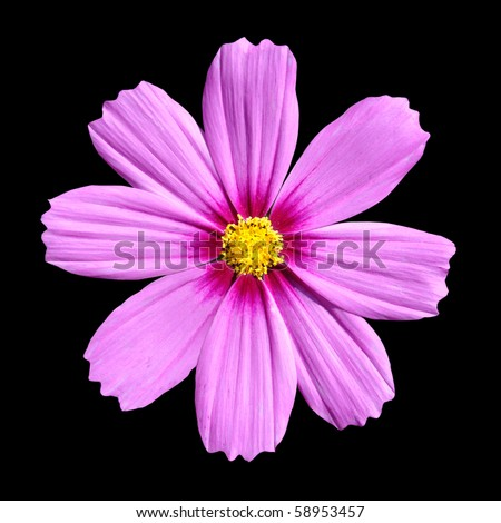 ... . Beautiful Cosmos Flower isolated on black background - stock photo