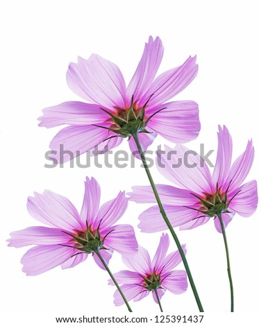 Pink cosmos flowers isolated on white background.