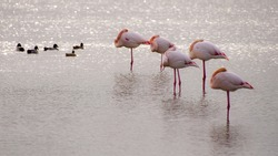 5 pink flamingos sleep and 5 small ducks in a pond / Perfect number/ Flamingos and ducks - Camargue (Southern France)