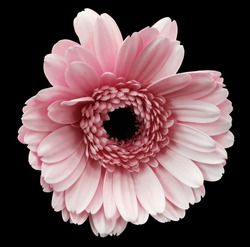 pink gerbera flower, black isolated background with clipping path.   Closeup.  no shadows.  For design.  Nature.