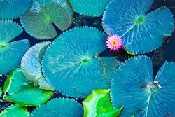 Pink lotus flower blooming among Green lotus leaves, water lily leaves, Dark Green leaves texture
