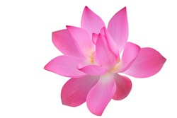 Pink lotus flower isolated on white background , with clipping path