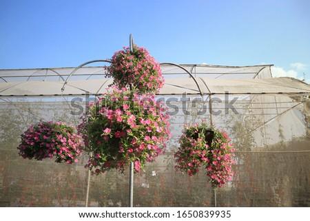 Pink of Madagascar periwinkle, Madagascar periwinkle, Catharanthus roseus,