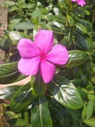 Pink Periwinkle(Sadafuli) flower.#Pinkflower. Commonly Known As Bright Eyes.