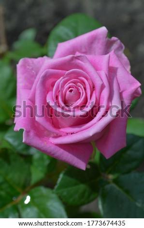 Pink rose bush in english garden. Rose Princess Alexandra of Kent
