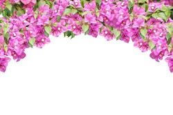 Pink spring flower (Bougainvillea) curve branches isolated on white background that can be used as a wedding or event background