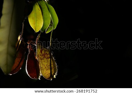 Pitcher Plant with back lighting