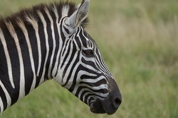 Plains zebra Equus quagga- Big Five Safari Black and white Stripped Kilimanjaro