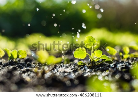 Plant sprouts in the field and farmer  is watering it;  pansy seedlings in the farmer's garden , agriculture, plant and life concept (soft focus, narrow depth of field) #486208111