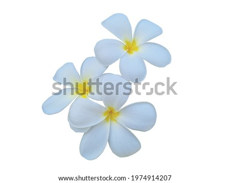 Plumeria flowers is the national flower of Laos, where it is known under the local name champa or 'dok champa'.  Frangipani, Plumeria, Temple Tree or Graveyard Tree isolated on white background. Stock fotó ©