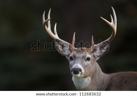 10 point buck; Whitetail Deer portrait isolated on a dark natural background; white tail / white-tail / whitetailed / white tailed / white-tailed