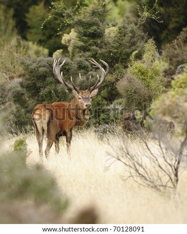 14 point Red Deer stag in New Zealand