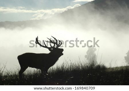 13 point red deer stag roaring in the morning fog, West Coast, South Island, New Zealand