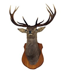 12 Point Red Stag Head isolated with clipping path