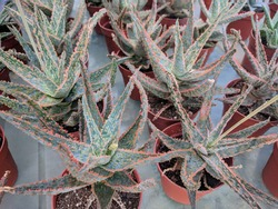 Pointy and thick leaves with slight reddish hue of Snowflake Aloe (Aloe rauhii)