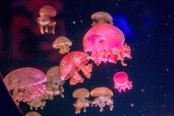 Poisonous jellyfish swim in the natural environment, shot closeup frontally.