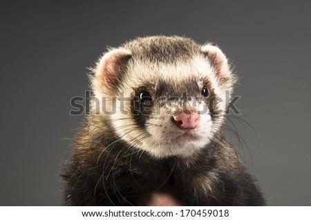 Polecat on gray background