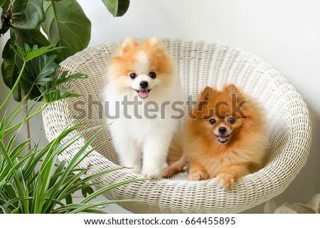 pomeranian dog smile animal...