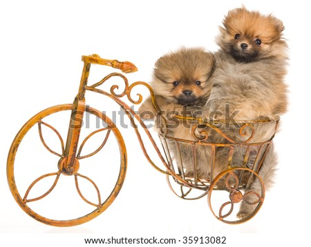 White Pomeranian Puppy Pictures. 2 Pomeranian puppies on