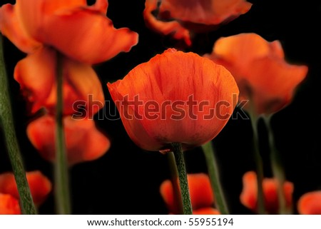 poppies on a black background