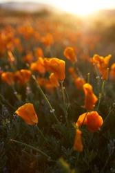 Poppies. Poppy meadows in Antelope Valley. Wonderful landscape. Orange.