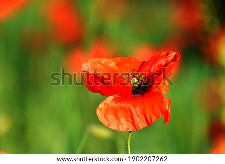 А poppy flower in summer on a green meadow Сток-фото ©