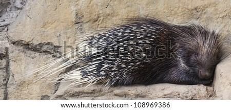 'Porcupine sleeping on a rock'