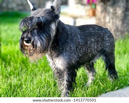 Portrait of a dog, schnauzer. Miniature Schnauzer, Miniature Schnauzer #1413770501