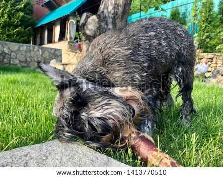 Portrait of a dog, schnauzer. Miniature Schnauzer, Miniature Schnauzer #1413770510