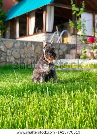 Portrait of a dog, schnauzer. Miniature Schnauzer, Miniature Schnauzer #1413770513