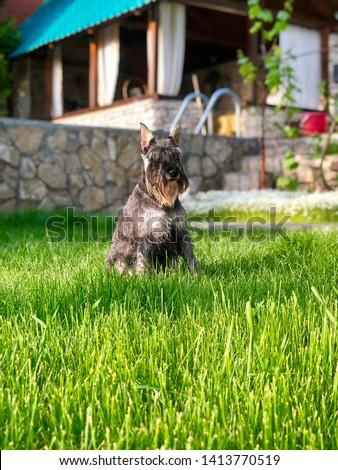 Portrait of a dog, schnauzer. Miniature Schnauzer, Miniature Schnauzer #1413770519
