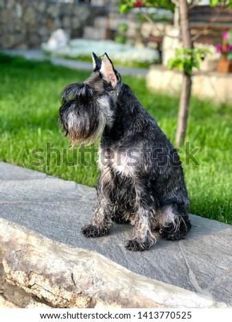 Portrait of a dog, schnauzer. Miniature Schnauzer, Miniature Schnauzer #1413770525