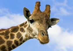 Portrait of a giraffe on the background of blue sky.